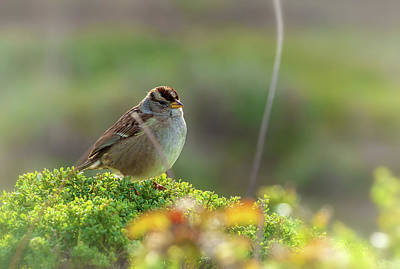 Photograph - Portrait Of A Sparrow by Jonathan Nguyen