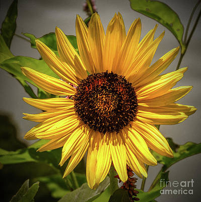 Photograph - Portrait Of A Sunflower by Nick Zelinsky