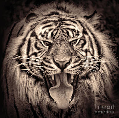 Photograph - Portrait Of A Tiger Fade To Black Version II by Jim Fitzpatrick