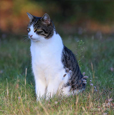Photograph - Portrait Of A Tom Cat by Sandra Huston