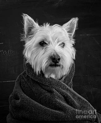 White Background Photograph - Portrait Of A Westie Dog by Edward Fielding