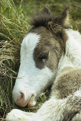Maryland Horses Photograph - Portrait Of A Wild Pony Foal Sleeping by James L. Stanfield