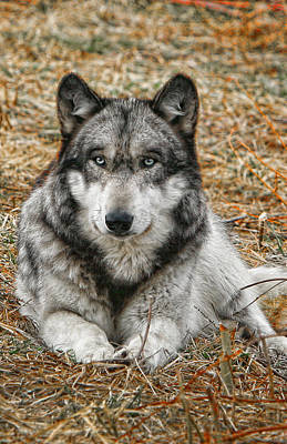 Photograph - Portrait Of A Wolf by Shari Jardina