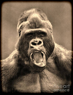 Photograph - Portrait Of A Yawning Silverback by Jim Fitzpatrick
