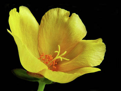 Photograph - Portrait Of A Yellow Purslane Flower by David and Carol Kelly