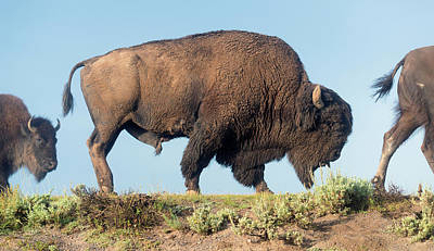 Portrait Of A Yellowstone Bison Art Print