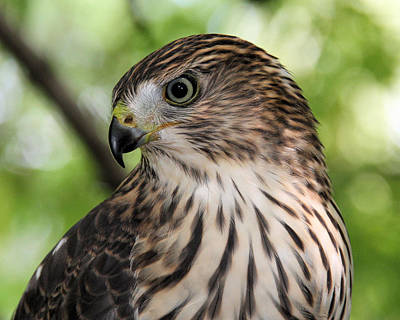 Portrait Of A Young Cooper's Hawk Art Print