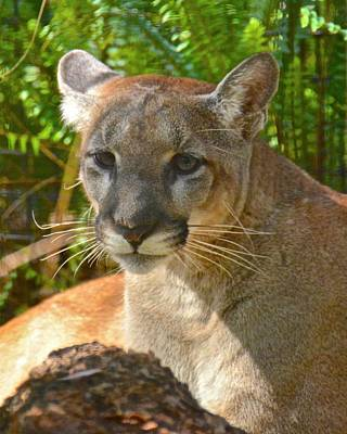 Photograph - Portrait Of A Young Florida Panther by Carol Bradley