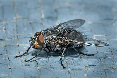 Photograph - Portrait Of A Young Insect As A Fly by Greg Nyquist