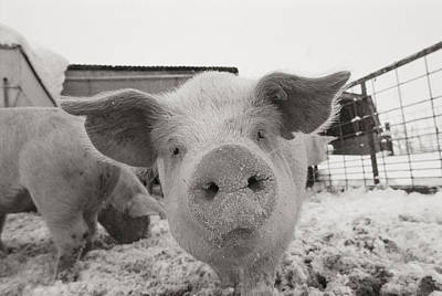 Portrait Of A Young Pig. Property Art Print