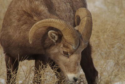 Big Horn Sheep Photograph - Portrait Of A Young Ram by Jeff Swan