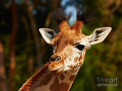Photograph - Portrait Of A Young Rothschild Giraffe  by Nick  Biemans