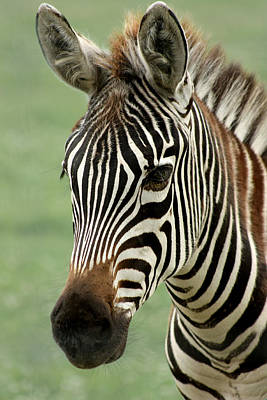 Zebra Photograph - Portrait Of A Zebra by Barbara  White
