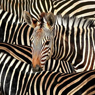 Open Impressionism California Desert - Portrait Of A Zebra by Diana Van Tankeren