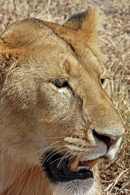 Photograph - Portrait Of An African Lioness by Gill Billington
