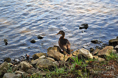 Photograph - Portrait Of An Alabama Duck 8 by Verana Stark