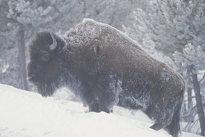Natural Forces Photograph - Portrait Of An American Bison by Michael Melford