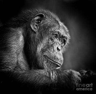 Photograph - Portrait Of An Elderly Chimp IIi by Jim Fitzpatrick