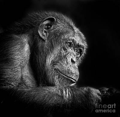 Photograph - Portrait Of An Elderly Chimp Iv by Jim Fitzpatrick