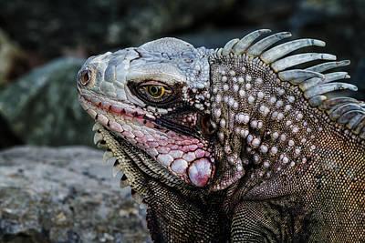 Photograph - Portrait Of An Iguana by Belinda Greb