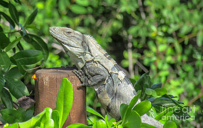 Photograph - Portrait Of An Iguana by Cheryl Baxter