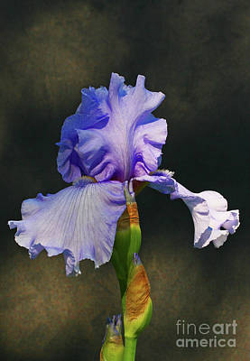 Photograph - Portrait Of An Iris by Steve Augustin