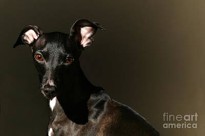 Photograph - Portrait Of An Italian Greyhound by Angela Rath