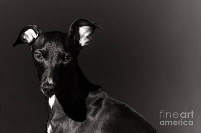 Photograph - Portrait Of An Italian Greyhound In Black And White by Angela Rath