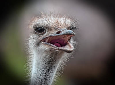 Photograph - Portrait Of An Ostrich by Jim Fitzpatrick