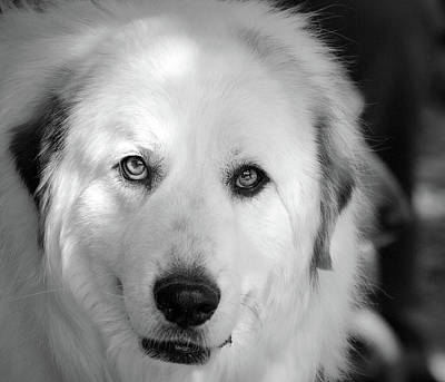 Photograph - Portrait Of Atherapy Dog-1 by Barbara Dudley