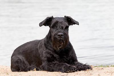 Colored Pencils - Portrait of Big Black Schnauzer dog by Jaroslav Frank