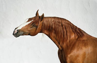Photograph - Portrait Of Chestnut Horse by Ekaterina Druz