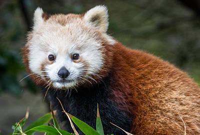 Photograph - Portrait Of Cini The Red Panda by Greg Nyquist