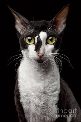 Portrait Of Cornish Rex Looking In Camera Isolated On Black  Print by Sergey Taran