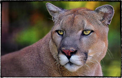 Portrait Of  Cougar  Art Print