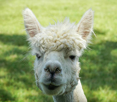 Photograph - Portrait Of Cute Young Lama by Lilia D