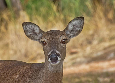Photograph - Portrait  Of Deer by Robert Brown
