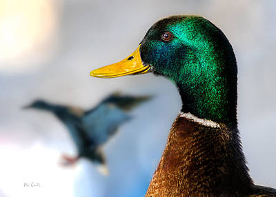 Birds Rights Managed Images - Portrait of Duck 2 Royalty-Free Image by Bob Orsillo