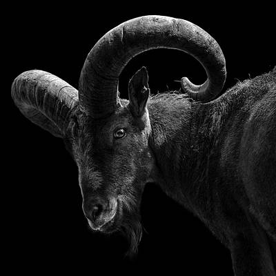 Zoo Animals Photograph - Portrait Of East Caucasian Tur In Black And White  by Lukas Holas