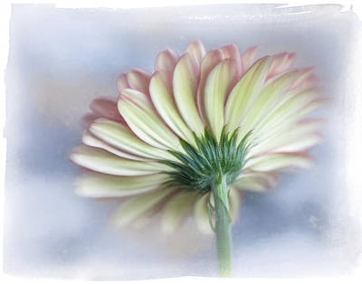 Photograph - Portrait Of Gerbera Daisy by David and Carol Kelly