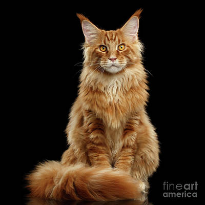 Black Cat Photograph - Portrait Of Ginger Maine Coon Cat Isolated On Black Background by Sergey Taran