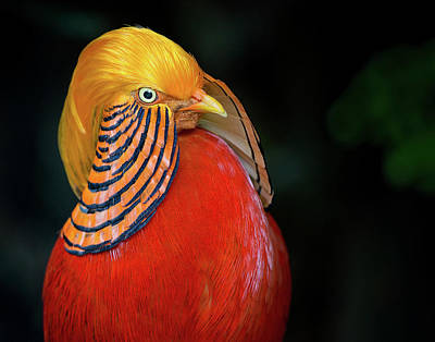 Photograph - Portrait Of Golden Pheasant by Greg Nyquist