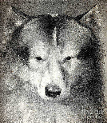 Photograph - Portrait Of Husky, 1824 by Wellcome Images