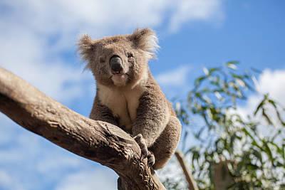 Portrait Of Koala Sitting On A Branch Art Print