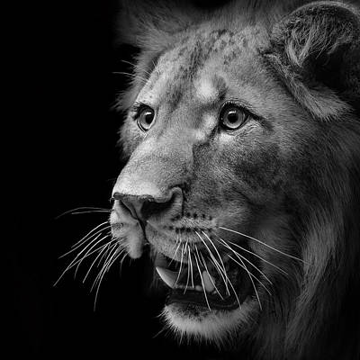Black And White Photograph - Portrait Of Lion In Black And White II by Lukas Holas