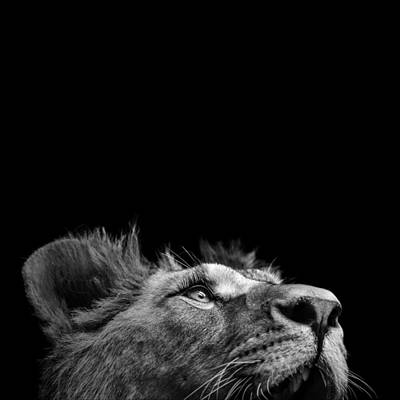 Black White Photograph - Portrait Of Lion In Black And White IIi by Lukas Holas