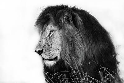Photograph - Portrait Of Lion Notch In Masai Mara, Kenya by Maggy Meyer