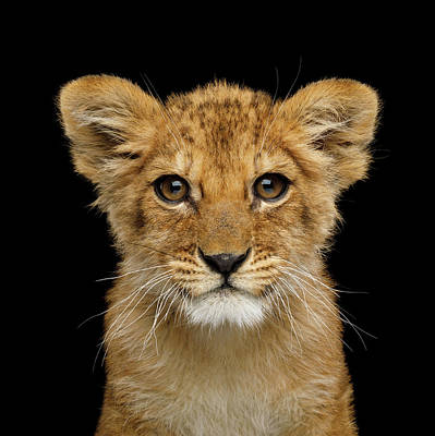 Photograph - Portrait Of Little Lion by Sergey Taran