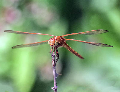 Photograph - Portrait Of Perched Dragonfly by William Bitman