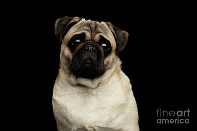 Portrait Of Pug Art Print